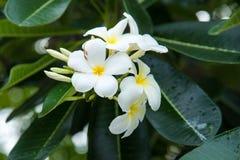 Weißer Plumeria oder Frangipani Süßer Duft von weißem Plumeriaflorida lizenzfreies stockfoto