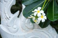 Weißer Plumeria oder Frangipani Süßer Duft von weißem Plumeriaflorida stockfotografie
