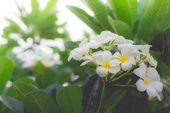 Weißer Plumeria oder Frangipani Süßer Duft von weißem Plumeriaflorida stockfoto