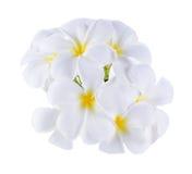 Weißer Plumeria rubra Blume Weißhintergrund Lizenzfreie Stockbilder