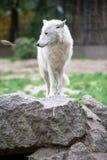 Weißer polarer Wolf im Zoo von Berlin Stockbilder