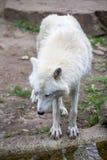 Weißer polarer Wolf im Zoo von Berlin Lizenzfreies Stockbild