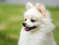 Weißer pomeranian Hund lizenzfreies stockfoto