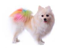 Weißer pomeranian Hund, der buntes Endstück pflegt lizenzfreie stockfotografie