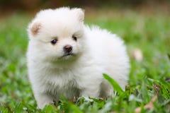 Weißer Pomeranian-Welpe lizenzfreie stockbilder