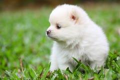 Weißer Pomeranian-Welpe auf grünem Gras stockbilder