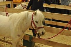 Weißer Ponykopf im Profil Lizenzfreie Stockbilder