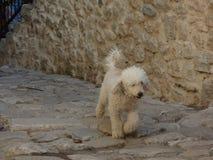Weißer Pudel, der auf die Pflasterung in der alten Stadt Kotor, Montenegro geht Stockfotografie