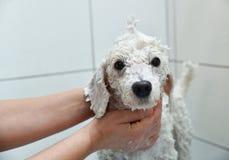 Weißer Pudel unter der Dusche Lizenzfreie Stockfotografie