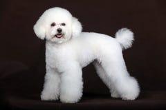 Weißer Pudelhund Stockfoto