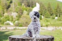 Weißer Pudelhund, der auf einem Baumstamm im Berg sitzt Stockfotografie