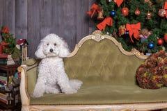 Weißer Pudelhund, der im Weihnachtssatz aufwirft lizenzfreies stockfoto