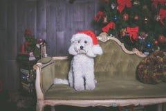 Weißer Pudelhund mit Weihnachtshut, Porträt stockfotografie