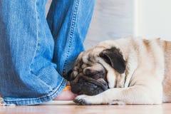 Weißer Pug schläft auf dem menschlichen Bein Stockfotografie
