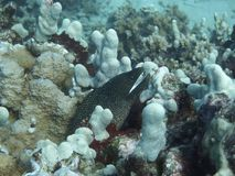 Weißer punktierter Moray Eel stockfoto