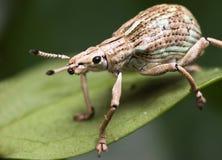 Weißer Rüsselkäfer Stockbild