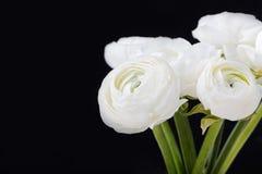 Weißer Ranunculus blüht in einem keramischen Vase Schwarzhintergrund Kopienraum Stockbilder