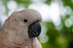 Weißer Regenschirm Cockatoo stockfotos