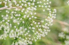Weißer Regenschirm des Blühens goutweed Abschluss oben Makro kleine Tiefe von Schärfe Blumengemüsehintergrund Stockbild