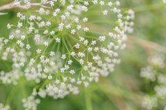 Weißer Regenschirm des Blühens goutweed Abschluss oben Makro kleine Tiefe von Schärfe Blumengemüsehintergrund Lizenzfreies Stockbild