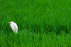 Weißer Reiher Stockfoto