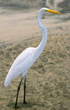 Weißer Reiher (Ardea herodias) Lizenzfreie Stockfotos