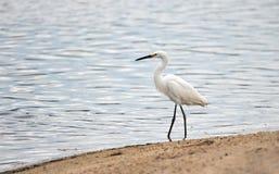 Weißer Reiher, der auf Ufer der Landschaftsschutzgebietlagune in San Jose del Cabo in Baja California Mexiko geht lizenzfreies stockfoto