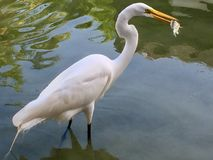 Weißer Reiher, der einen Fisch fängt lizenzfreies stockbild