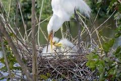 Weißer Reiher, der ihre Babys einzieht Stockbild