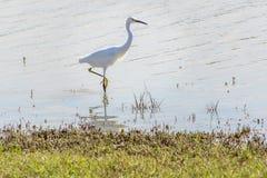 Weißer Reiher, der im Wasser, ein Fuß herausgestellt steht Stockbilder