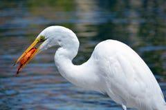 Weißer Reiher, der koi Fische isst Lizenzfreies Stockfoto