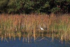 Weißer Reiher in einem Teich im Schilf stockbild