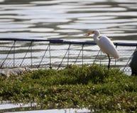Weißer Reiher essen Fische Stockfotografie