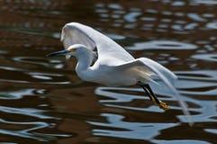 Weißer Reiher im Flug Stockfotos