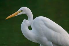 Weißer Reiher im Sumpf lizenzfreie stockfotografie