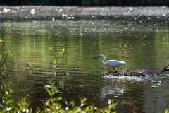 Weißer Reiher im Teich Stockfoto