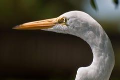 Weißer Reiher-Kopf lizenzfreie stockfotografie