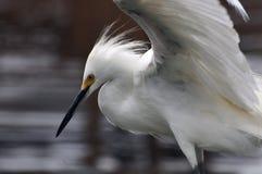 Weißer Reiher-Kopf Stockbild