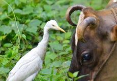Weißer Reiher mit Kuh Stockfotografie