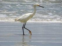Weißer Reiherreiher-Strandvogel Stockfotos