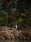 Weißer Reihervogel auf Mangrovenwurzeln Lizenzfreie Stockfotografie