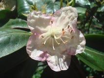 Weißer Rhododendron 1 lizenzfreie stockbilder