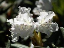 Weißer Rhododendron Lizenzfreie Stockfotos