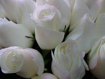 Weißer Rose Stockfotografie