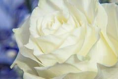 Weißer Rosen-Abschluss oben Stockbild
