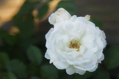 Weißer Rosenbusch Lizenzfreie Stockbilder