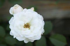 Weißer Rosenbusch Lizenzfreies Stockfoto