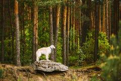 Weißer russischer Barzoi, Jagd-Hund, der auf Felsen im Wald steht Lizenzfreies Stockfoto
