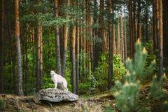 Weißer russischer Barzoi, Jagd-Hund, der auf Felsen steht Stockbild