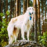 Weißer russischer Barzoi, Jagd-Hund, der auf a steht Lizenzfreies Stockfoto